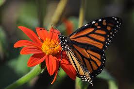 Butterfly - Monarch